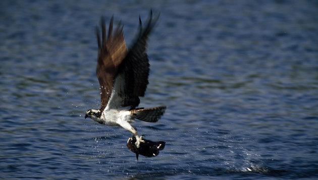 Fischadler mit Schrotkugel im Körper gefunden (Bild: thinkstockphotos.de (Symbolbild))
