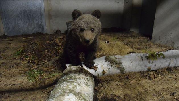 Bärenwaise kommt gesund und munter in Poznañ an (Bild: Vier Pfoten/Zoo Poznaà144)