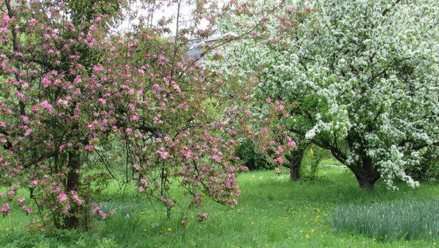 Ein ordentlicher Schnitt tut jetzt vielen Bäumen, Sträuchern und Pflanzen gut. (Bild: Agnes Thinschmidt (Symbolbild))