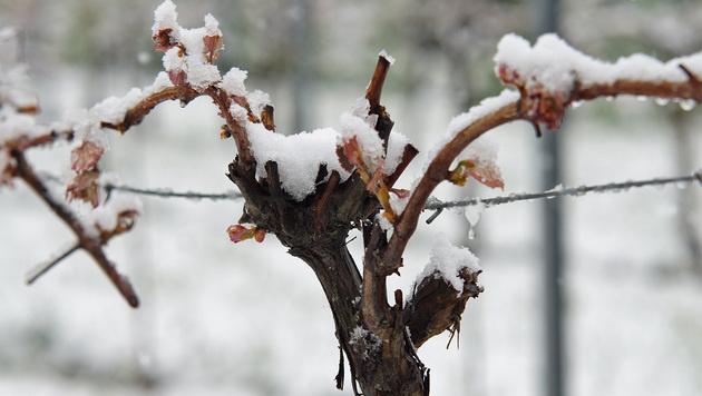 Ein schneebedeckter Weinstock in der Südoststeiermark (Bild: APA/LFV/FRANZ FINK)