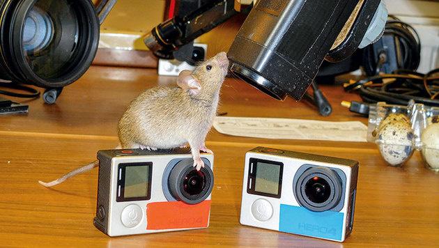 Schlangen folgen dem Geruch von Mäusen - auch auf Kameras. (Bild: Kurt Mündl)