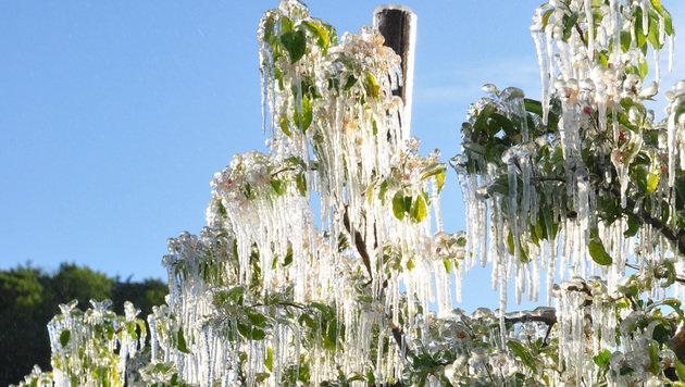 Das Eis richtete schwere Schäden an den Obstkulturen an. (Bild: APA/LK STEIERMARK)