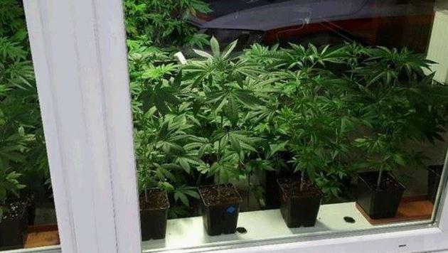 Cannabispflanzen in der Auslage des Lokals in Henndorf - die Polizei stellte rund 50 Stück sicher. (Bild: Polizei)