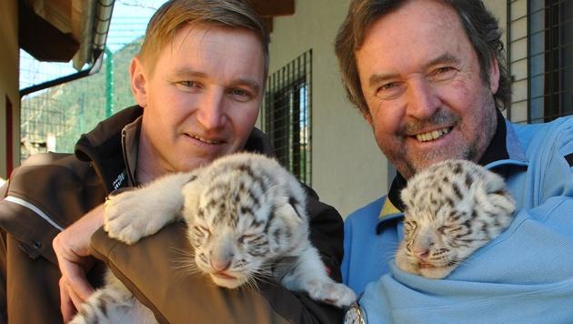 Zoodirektoren Rainer Zöchling (li.) und Herbert Eder (re.) mit den Tiger-Zwillingen (Bild: APA/WHITE ZOO AUSTRIA/DORA Z?CHLING)
