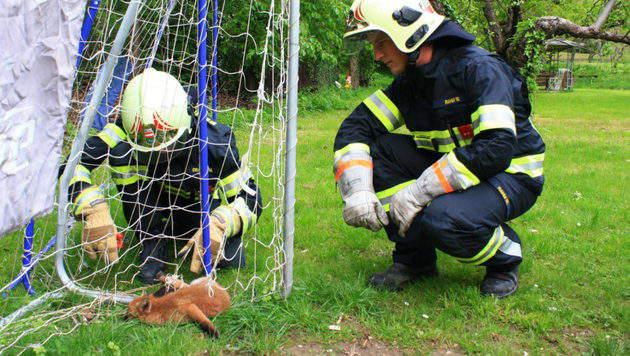 Junger Fuchs in Fußballnetz gefangen - befreit (Bild: www.ffmoedling.at)