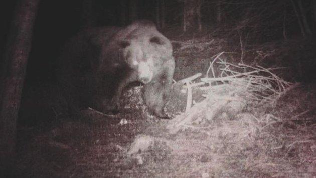 Dieser stattliche Bär tappte kürzlich auf dem Bartolo-Sattel in eine Wildkamera. (Bild: Manuel Giusti)