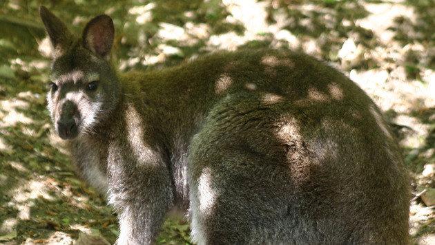 Einstiges Kärntner Ausbrecher-Känguru wurde Vater (Bild: Claudia Fischer)