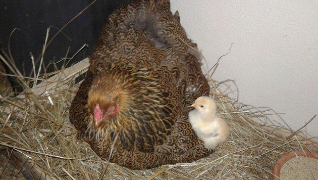 Mutterglück im Hühnerstall als wertvolle Lektion (Bild: Christa Blümel)