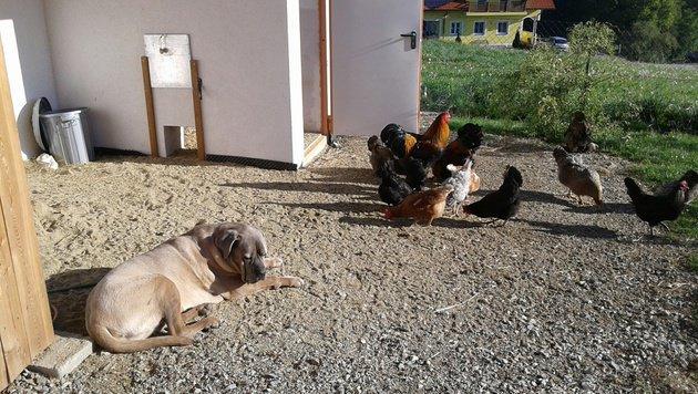 """Hund """"Emil"""" hat immer ein Auge auf seine Hühner. Außer, er nickt dabei weg. (Bild: Christa Blümel)"""