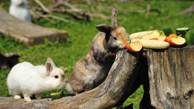 Überdurchschnittlich viele Kaninchen ausgesetzt (Bild: Pfotenhilfe Lochen/Matthias Schickhofer)