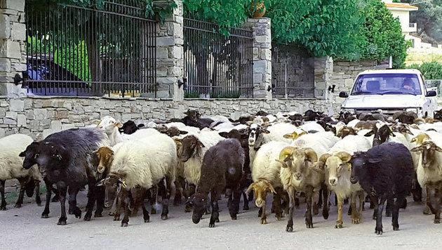 Nichts ungewöhnliches sind Schafherden, die auf schmalen Straßen auf die Weiden getrieben werden. (Bild: Jörg Redl/Raiffeisen Reisen)