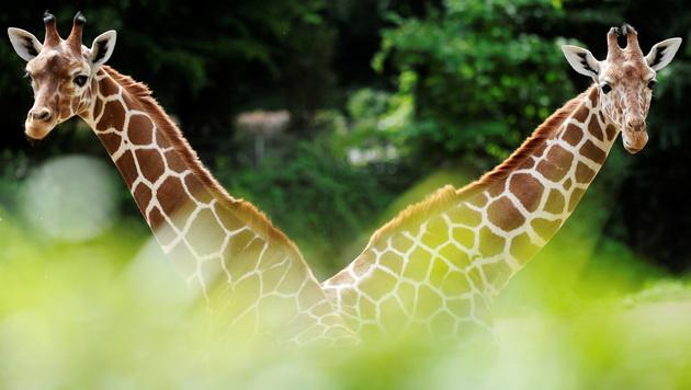 Hochbahn über Giraffen und Löwen in Kenia geplant (Bild: Clemens Bilan/AFP/picturedesk.com)
