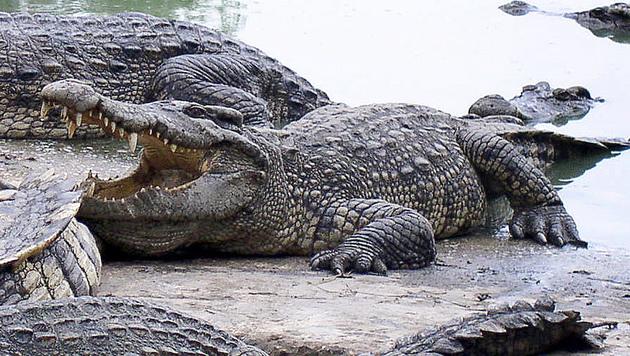 Mit Schraubenschlüssel Krokodile abgewehrt (Bild: AFP/Paul DAILING (Symbolbild))
