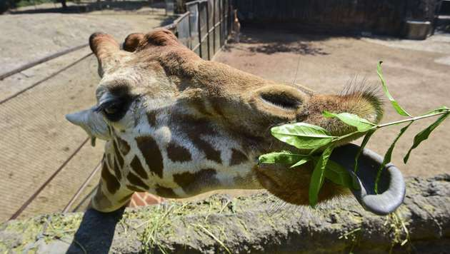 """""""Triff den Tierpfleger""""-Projekt im Zoo Schmiding (Bild: RONALDO SCHEMIDT/AFP/picturedesk.com)"""