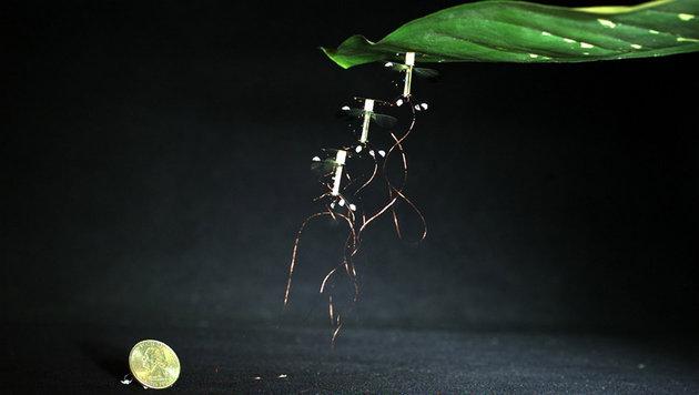 Das Bild zeigt die Annäherung und Landung der Drohne auf dem Blatt. (Bild: Harvard Microrobotics Lab/ Harvard University)