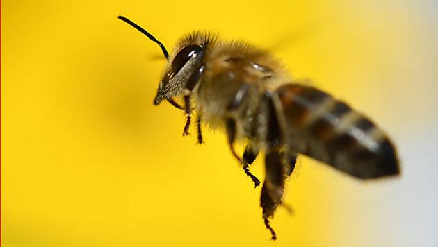 Virus-Klon soll gegen Bienensterben helfen (Bild: APA)