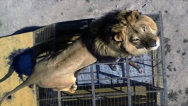 Nackter Mann wollte von Löwen gefressen werden (Bild: MARTIN BERNETTI/AFP/picturedesk.com)