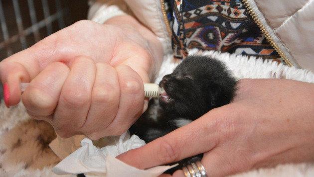 Eines der Kätzchen aus der Mülltonne: Die Fellknäuel werden von Tierfreunden aufgepäppelt. (Bild: Klaudia Thorer)