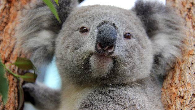 Koalas werden laut der Studie überdurchschnittlich oft erforscht. (Bild: EPA/AAP/Taronga Conservation Society)