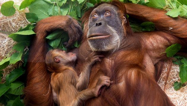 Ein Orang-Utan-Weibchen mit Nachwuchs (Bild: APA/dpa-Zentralbild/Arno Burgi)