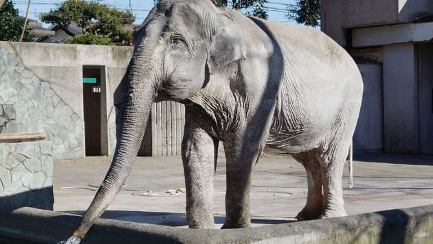 "Japans ""beliebtester Elefant"" starb mit 69 Jahren (Bild: APA/AFP/JIJI PRESS)"