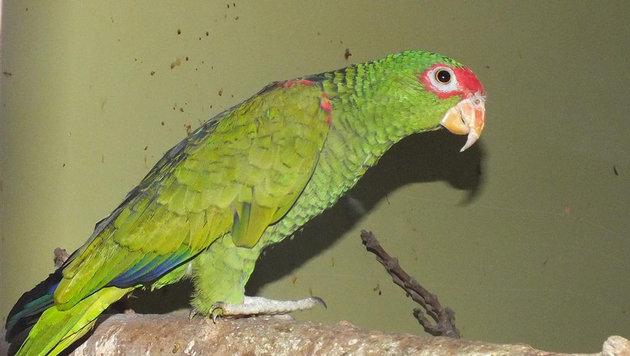 Zollfahndung beschlagnahmt 50 geschützte Papageien (Bild: APA/ZA PKW)