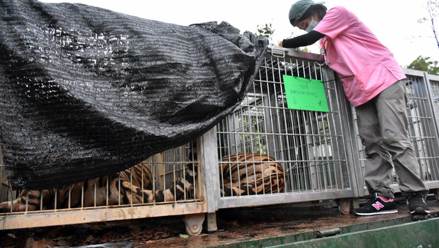 Thailand: 40 tote Tigerbabys in berühmtem Tempel (Bild: Wildlife Friends Foundation Thailand)