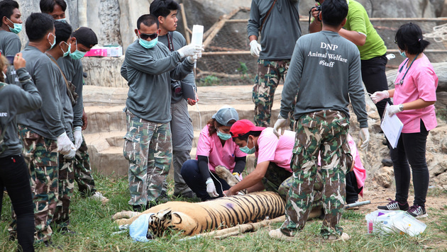 Thailand: 40 tote Tigerbabys in berühmtem Tempel (Bild: Associated Press)