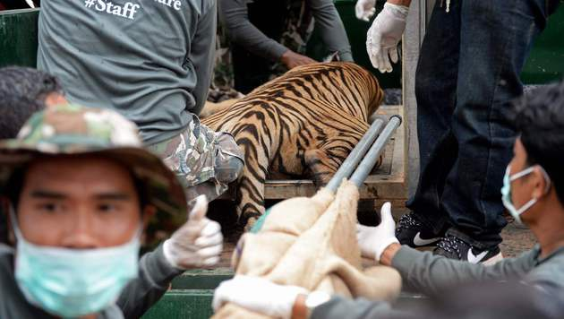 Ein Tier wurde betäubt, um es zu transportieren. (Bild: APA/AFP/CHRISTOPHE ARCHAMBAULT)