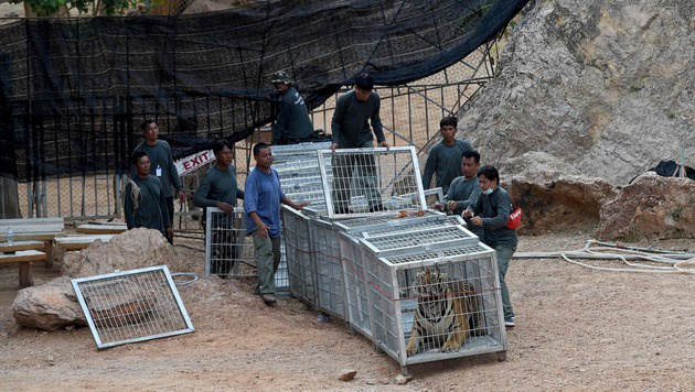Thailand: 40 tote Tigerbabys in berühmtem Tempel (Bild: APA/AFP/CHRISTOPHE ARCHAMBAULT)