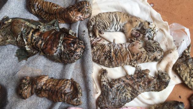 Die toten Tigerbabys lagen in einer Futter-Tiefkühltruhe. (Bild: AP)