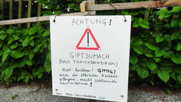 """""""Poison Ivy"""" blüht in Graz: Zwei Kinder verletzt (Bild: APA/BOTANISCHER GARTEN GRAZ/DR. URSULA BROSCH)"""