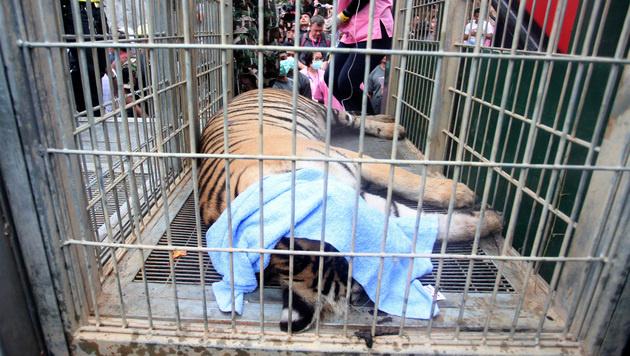 Ein betäubter Tiger im Käfig (Bild: Associated Press)