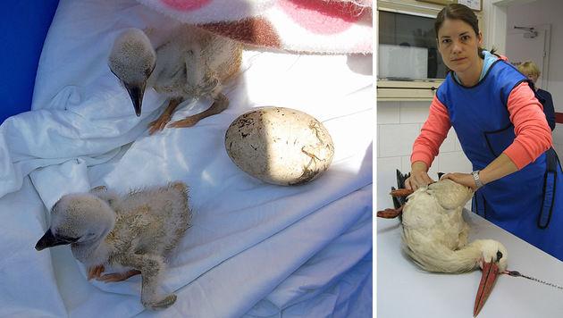 Die Küken werden liebevoll umsorgt. Tierärztin Dr. Gilli konnte dem Storch nicht mehr helfen. (Bild: APA/FF NIKLASDORF/ZECHNER, Mühlbacher)