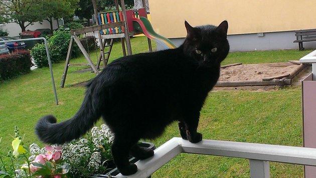 """Die Katze """"Sunny"""" entdeckte das schon völlig verwahrloste Meerschweinchen. (Bild: Tiko Klagenfurt)"""