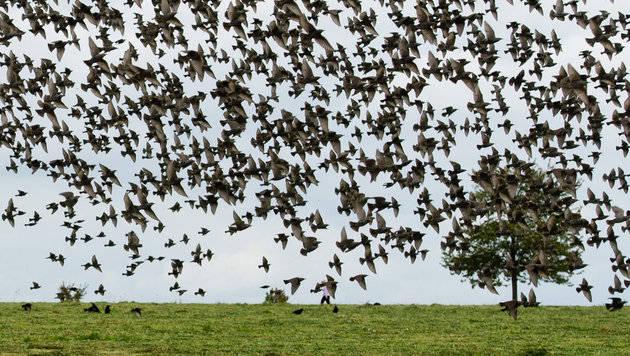 Burgenland erlaubt Stare-Abwehr per Drohne (Bild: APA/dpa)
