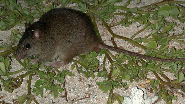 So sah die Bramble-Cay-Mosaikschwanzratte aus (Bild: Queensland Department of Environment and Heritage Protection)