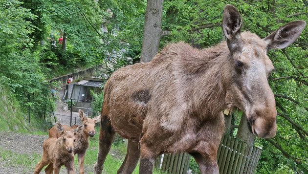 """Die kleinen Jungtiere folgen Mutter """"Nila"""" auf Schritt und Tritt. (Bild: Christof Birbaumer)"""