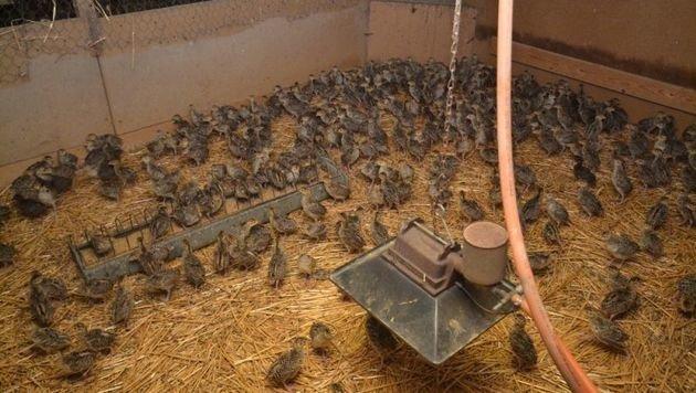 Hier werden Fasanküken zum Abschuss gezüchtet. (Bild: VGT)