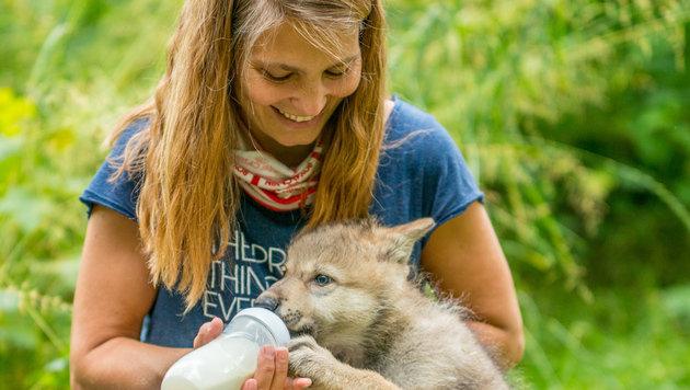 Drei Wolfswelpen finden in NÖ neues Zuhause (Bild: APA/ROOOBERT BAYER)