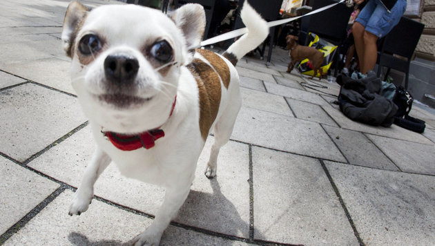Chihuahua-Besitzerin bricht Polizistin die Nase (Bild: dpa/Frank Rumpenhorst (Symbolbild))