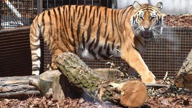 Für die Aktion wurde vor dem Maxim-Gorki-Theater eine Arena mit lebenden Tigern aufgestellt. (Bild: EPA)