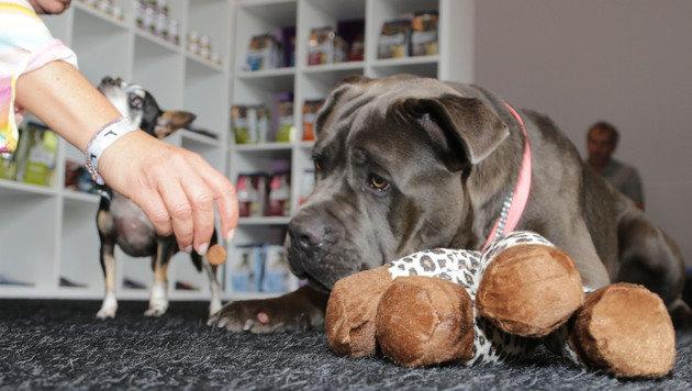"""Cane Corso-Rüde """"Ares"""" hat die Dog-Lounge mit Leckerchen und Stofftier genossen. (Bild: Evelyn Hronek)"""