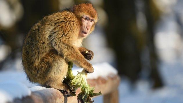 Affen werden mit zunehmendem Alter wählerischer (Bild: APA/dpa/Felix Kästle)