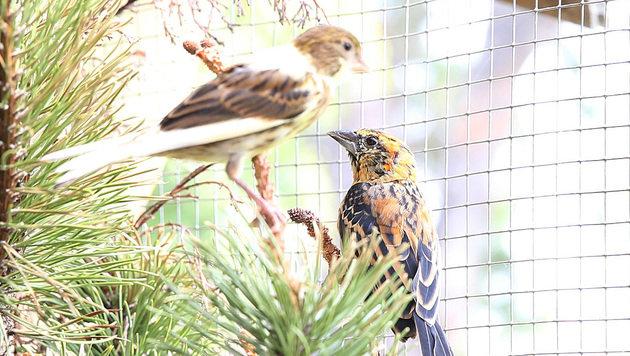 Um die 150 Vögel wurden aus ihrer Voliere in die Freiheit entlassen â013 und verendeten dann. (Bild: Zwefo)