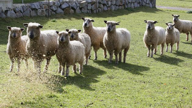 Die Wensleydale-Schafe haben lange, korkenzieherartige Locken. (Bild: Uta Rojsek-Wiedergut)
