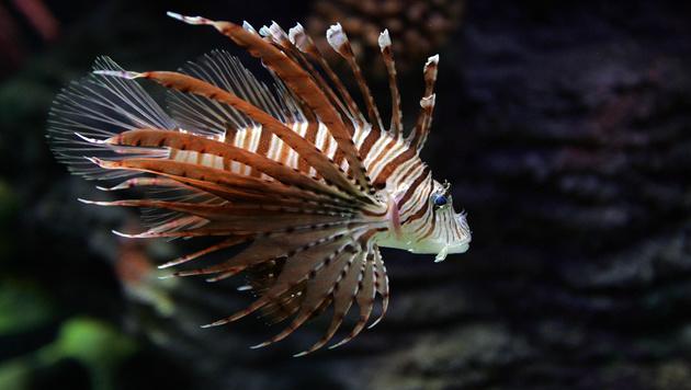rotfeuerfische breiten sich im mittelmeer aus sch n und gef hrlich wissen. Black Bedroom Furniture Sets. Home Design Ideas