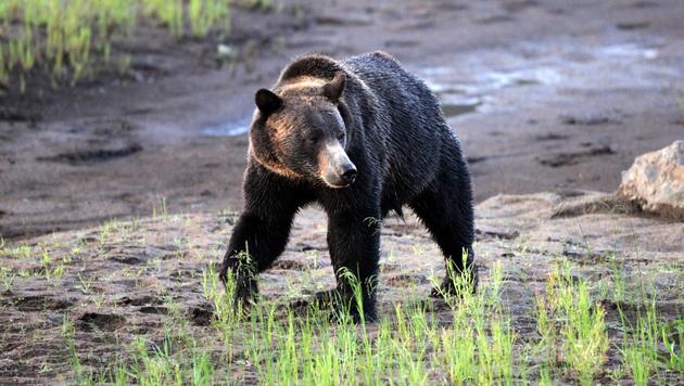Mountainbiker in USA von Grizzlybär getötet (Bild: AP (Symbolbild))