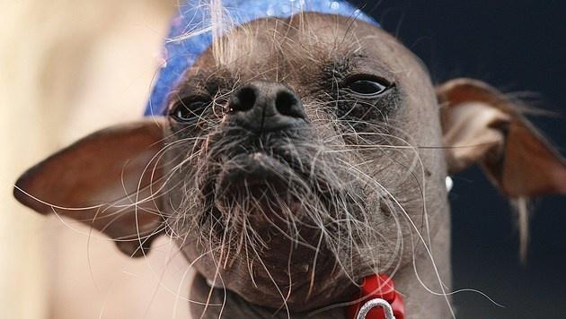 """Der chinesische Schopfhund """"Mugly"""" war 2012 extra aus England für den Wettkampf angereist. (Bild: AFP/Kimihiro Hoshino)"""