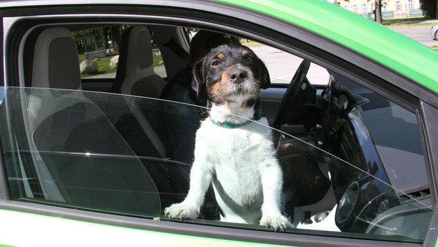 Der Bello kriegt zwar Luft, hat aber am Beifahrersitz nichts verloren. (Bild: Christian Jauschowetz)